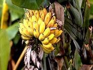 태국에는 바나나 27종류